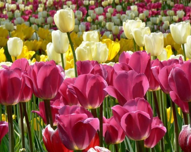 tulip festival saint-petersburg 2014
